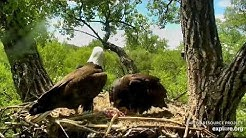 Decorah Eagles 5-30-20, 1 pm DM2 brings rabbit, Mom brings grasses, DM2 feeds all eaglets