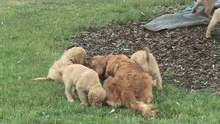 Golden Retriever Puppies Outside Last Time With Ten
