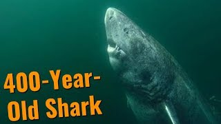 The 400-Year-Old Shark - Greenland Sharks