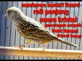 Masteran Knari Lizard Gacor Roll Panjang Suara Kristal Cocok Buat Pancingan Kenari Yang Macet Bunyi  Mp3 - Mp4 Download