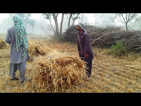 Agriculture Farms Cutting Harvesting The Wheat In Punjab Village | Complete Process