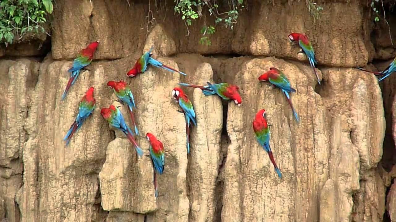 Scarlet macaw clay lick manu