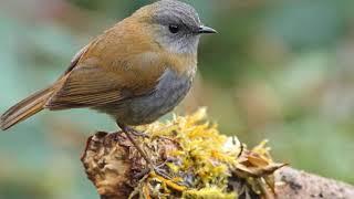 Gambar cover Kicauan Burung Black billed Nightingale cocok untuk masteran