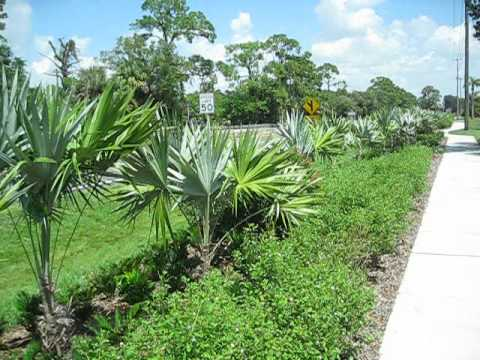 Florida native palms in public street planting