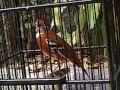 Anis Cendana Punglor Cendana Kupang Audio(.mp3 .mp4) Mp3 - Mp4 Download