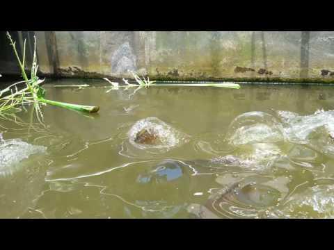 Ikan gurami besar-besar di kolam kecil