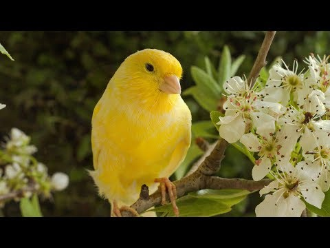 "Deep rest, Sleeping music, Calm music, Peaceful music ""Canary and Friends"" by Tim Janis"