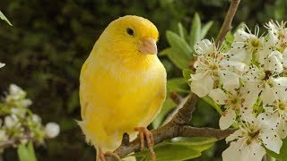 Deep rest, Sleeping music, Calm music, Peaceful music 'Canary and Friends' by Tim Janis