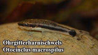 видео Отоцинклюс макроспилус