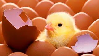 1й день ИНКУБАЦИИ ВЫЛУПЛЕНИЕ ПТЕНЦОВ из яиц в инкубаторе на ферме ОБЗОР Хозяйство БЕРЕЗИНО