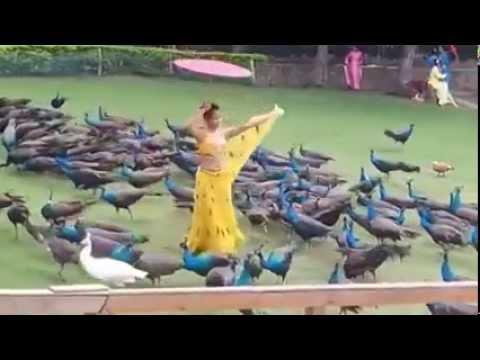 Chim Công Cực Kỳ Nhiều