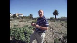 Ecballium elaterium - Squirting Cucumber - Ayada (Arabic) .AVI | abdalrahmane ben ayad