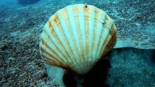 Noël approche et il n'y a pas foule au marché sous-marin breton, rejoignez Charlie Blaise lors d'une balade sous-marine à la cueillette des Coquilles Saint-Jacques pour les fêtes de fin d'années.   Ce mollusque est l'un des plus prisée en cette période de festivités.  #coquille #epsealon #CoquilleSaintJacque   Oublier pas ABONNEZ VOUS !! Cliquez sur ce lien :