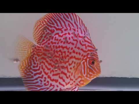 Discus fry getting bigger