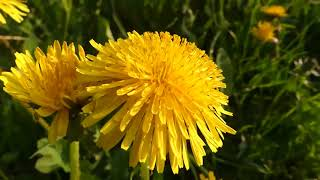 Dandelion : Don't Kill the Dandelion