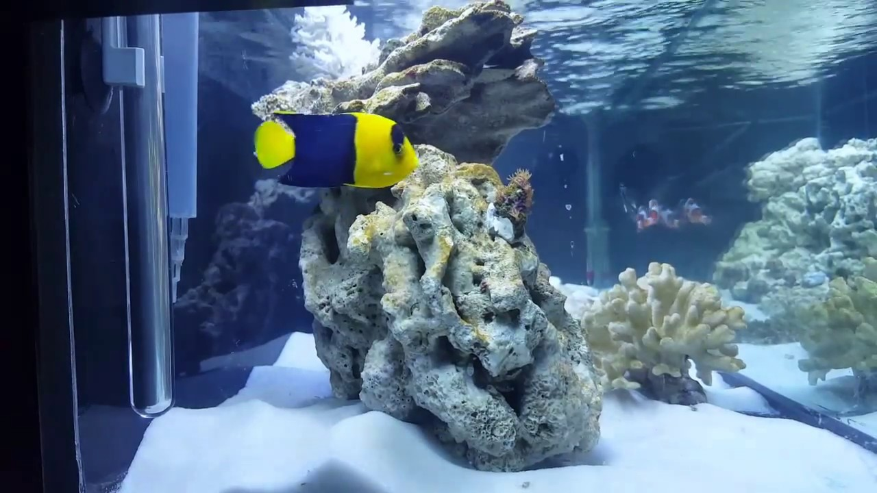 Saltwater tank update 4 Bicolor Angelfish. Did i make a mistake? - YouTube