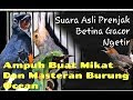 Prenjak Betina Gacor Ngetir Panjang Ampuh Buat Pikat Dan Masteran Burung Ocean  Mp3 - Mp4 Download