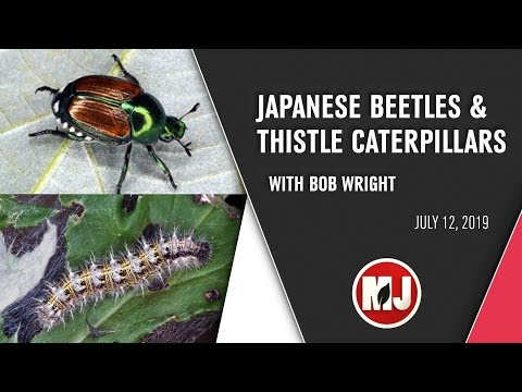 Japanese Beetles and Thistle Caterpillars | July 12, 2019