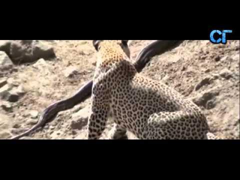 Питон против леопарда, Бой