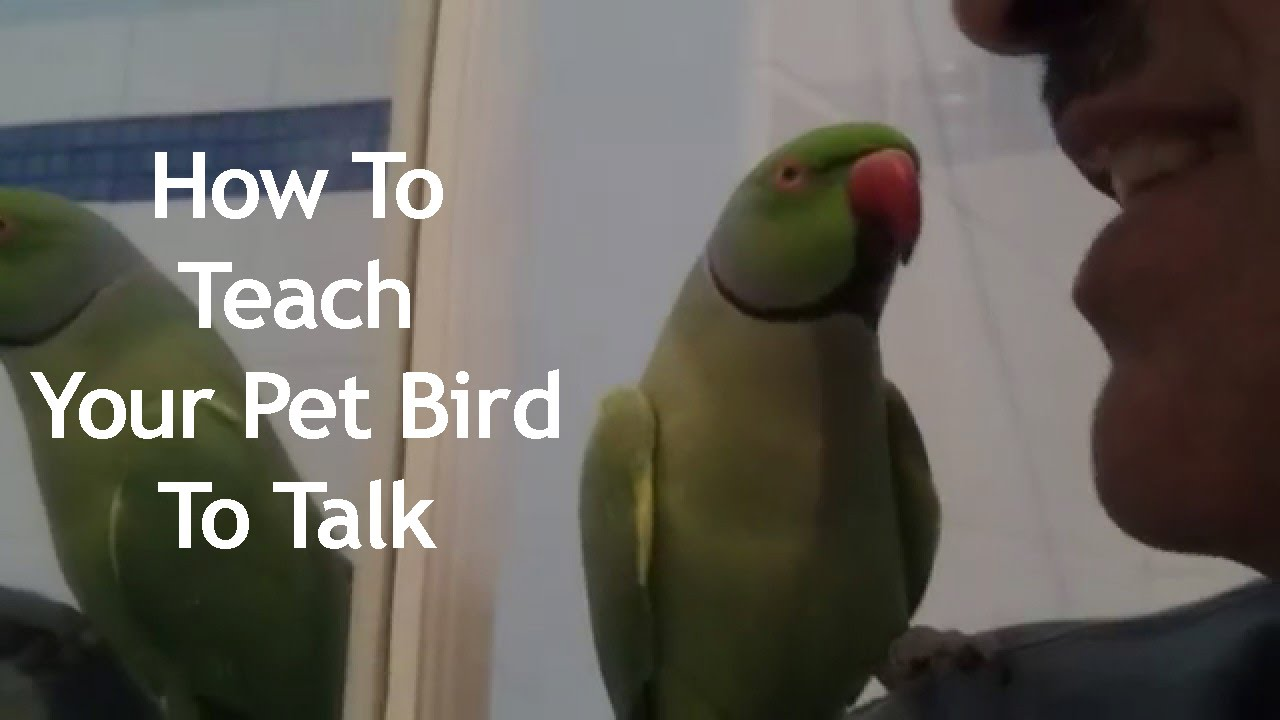 Image result for How Do I Make My Parrot Talk?