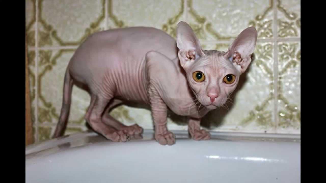 süße nackt katze