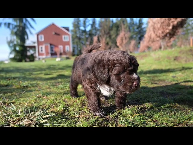 Lagotto Puppies in the Sun