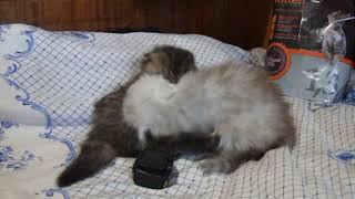Персидские котята  DSCF0536