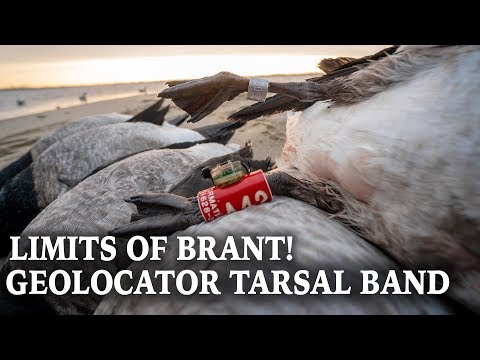 Atlantic Brant Hunting | Coastal Waterfowl Hunt