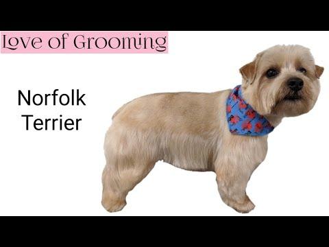 Grooming a Pet Norfolk Terrier