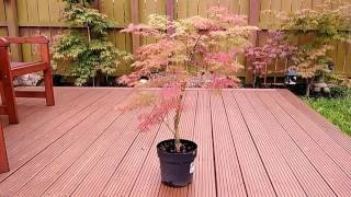 Acer Emerald Lace Japanese Maple - 11th July 2017