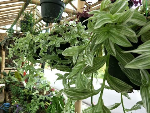 Desain Taman Bunga Gantung  cantiknya tanaman gantung gewor hijau youtube