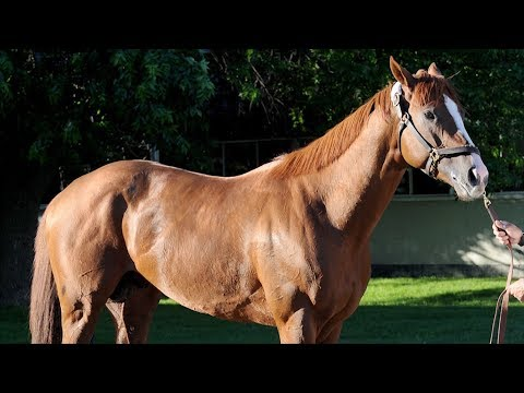This Old Horse- California Chrome