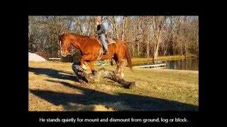 "SOLD ""Rusty"" 16y 14.3h Sorrel Quarter Horse Ge"