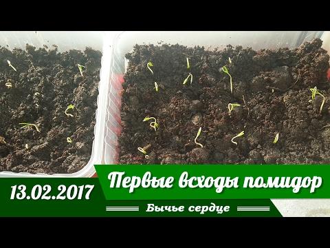 Первые всходы помидор Февраль!  Сорт Бычье сердце