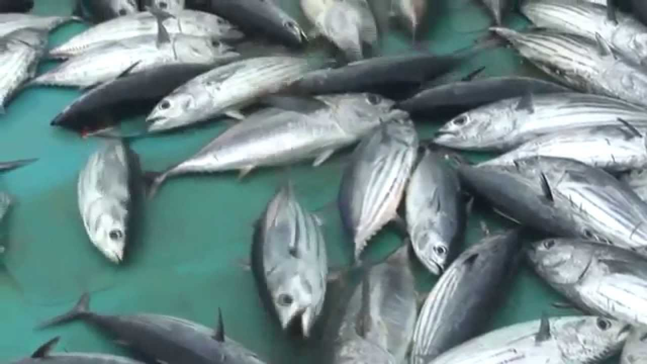 Лов тунца на Мальдивах. How to catch tuna
