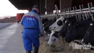 Ensilage maïs et distribution de compléments aux vaches laitières Prim-Holstein