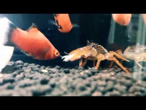 The Tragedy of shrimp