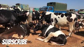 Milking Cows Mandi -  Near Bengaluru - Huge Market