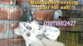 Highflyer Budapest Running pair for sell(বুদাপেস্ট হাইফ্লায়ার বিক্রয়)