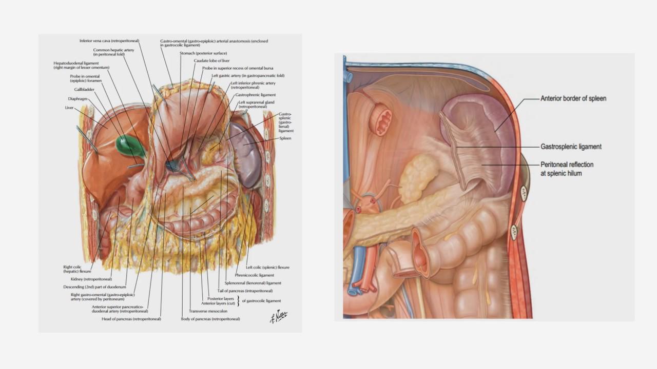 Topic 24 anatomy of the spleen youtube topic 24 anatomy of the spleen ccuart Choice Image