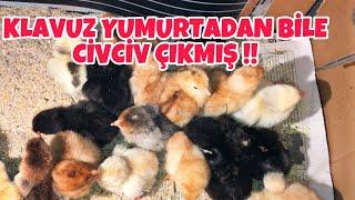 Böyle Bir Civciv Çıkımı Görmedim ! 20.Günde Klavuz Yumurtadan Bile Civciv Çıkmış! #evdekal