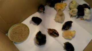 Kurczaki rasowe