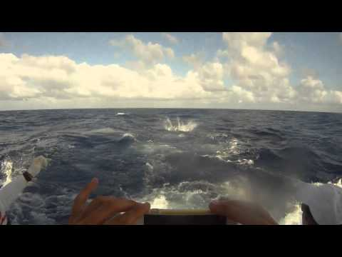 Blue Marlin offshore fishing tournament release - Barbados 2016