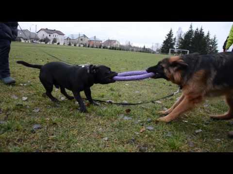 Staffordshire bull terrier vs German shepherd