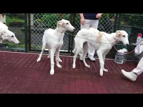 borzoi Puppies☆ 2019