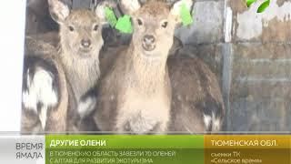 В Тюменскую область завезли оленей из Алтая для развития экотуризма