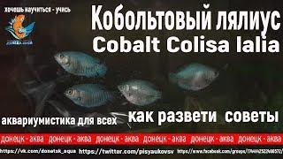 кобольтовый лялиус, Cobalt Colisa lalia, советы по разведению, что делать, råd om avl