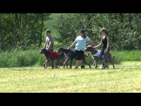 Lure Coursing irish wolfhound pack in Finland