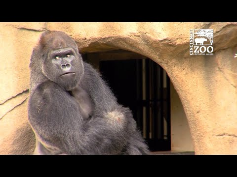 Cincinnati Zoo Welcomes New Gorilla A Year After Harambe Was Killed