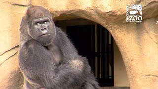 The Cincinnati Zoo welcomed Mshindi, a 29-year-old male silverback ...